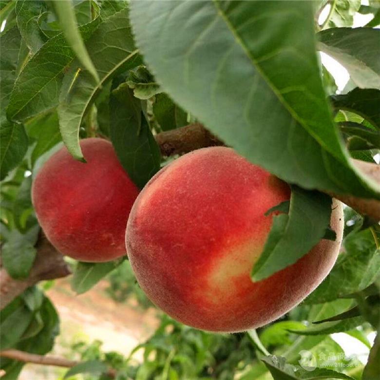 黄桃树苗哪个品种好 桃树新品种