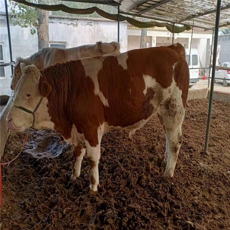 改良肉牛優惠  品種齊全改良肉牛 質量保證改良肉牛 出售批發