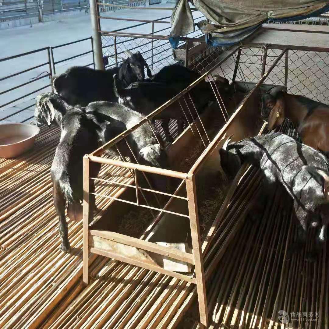 湖羊价格养殖利润成本