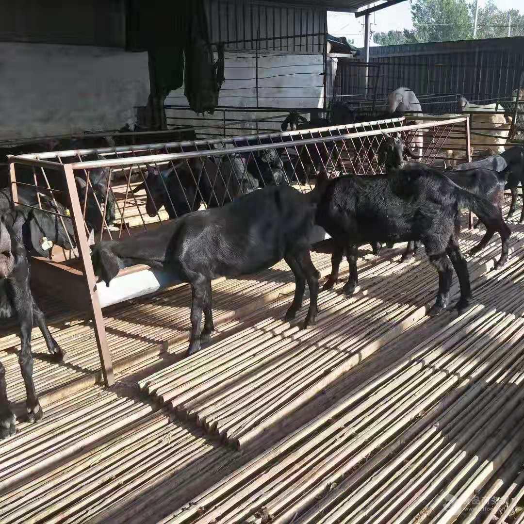 湖羊和小尾寒羊价格报价养殖利润成本