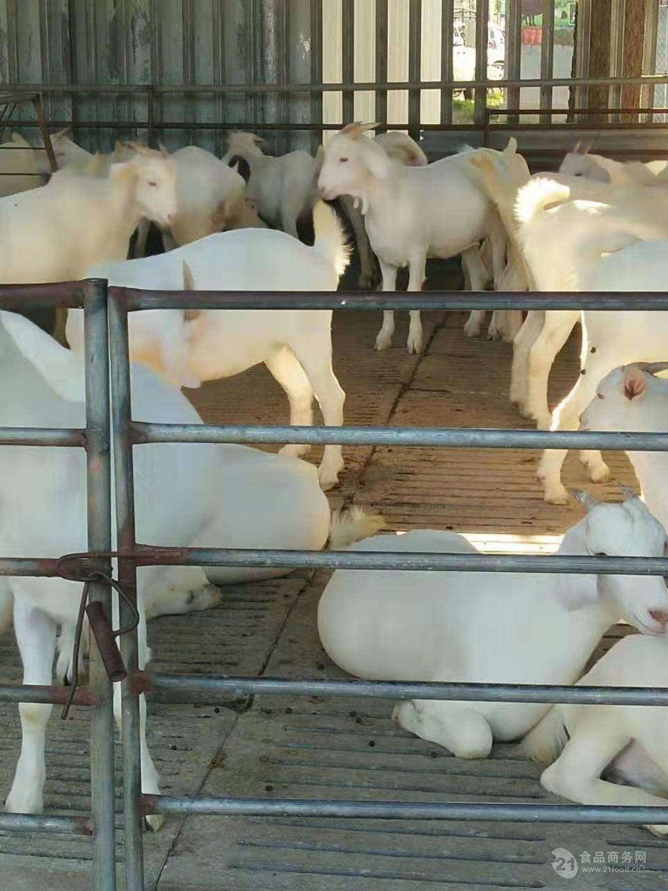 2019收活羊一斤若干钱一只活羊卖若干钱一斤养殖市场