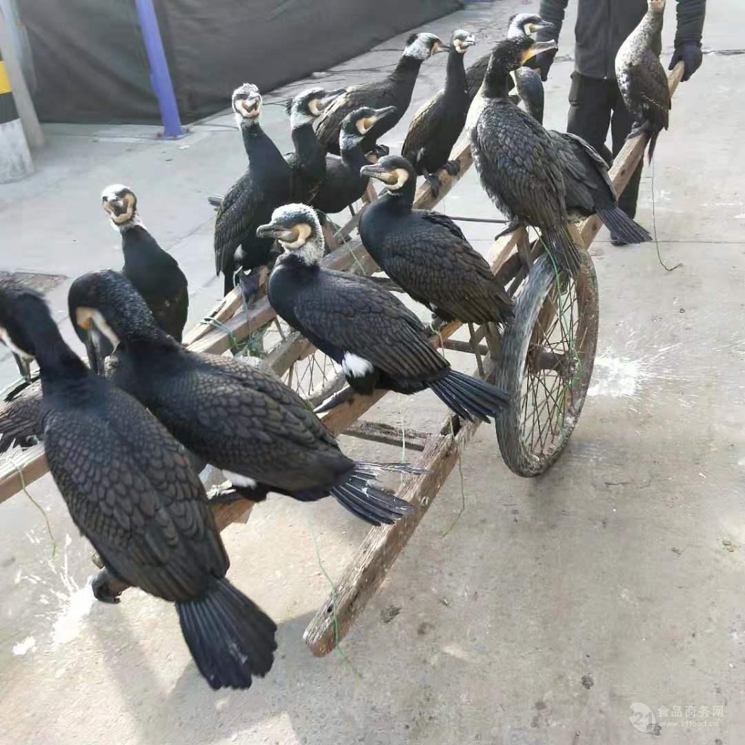 魚鷹和鸕鶿的區別價格多少一只