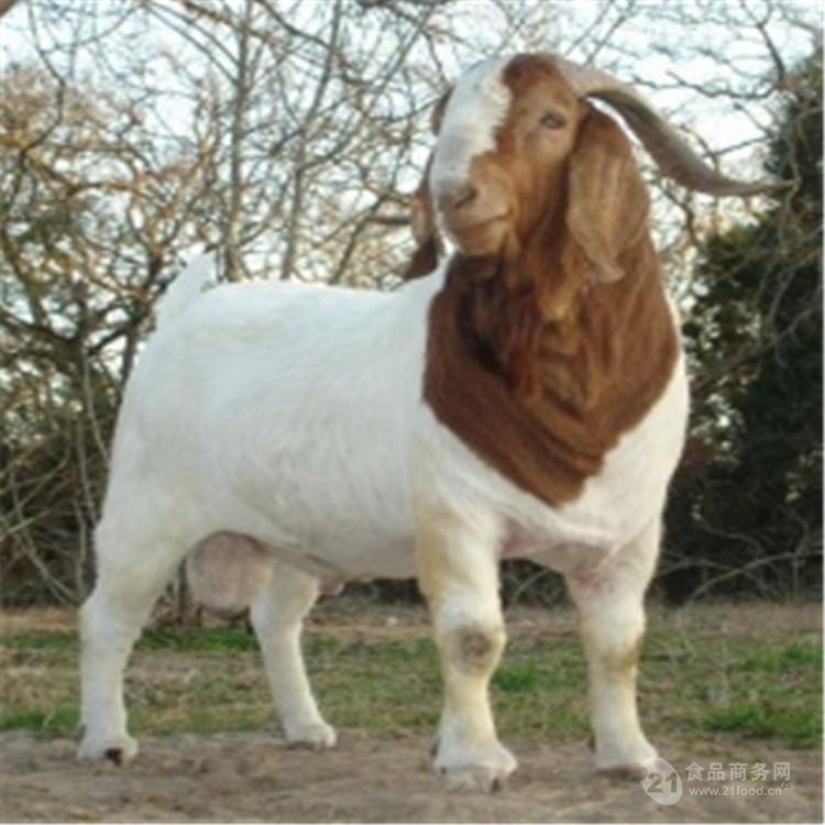 出售波尔山羊种羊苗