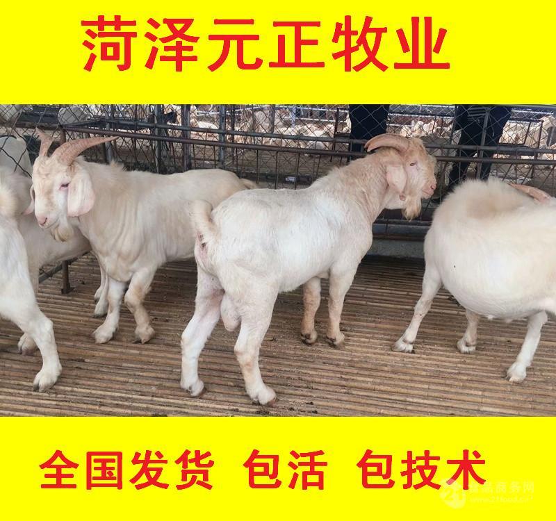 美国白山羊叫品种