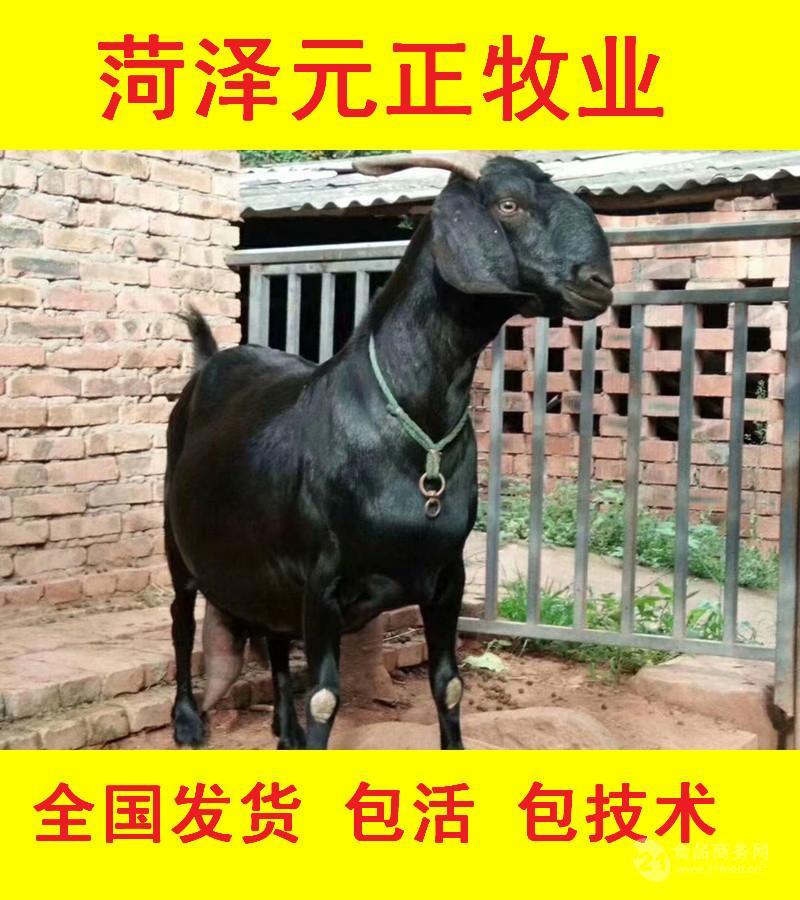黑山羊生活习性