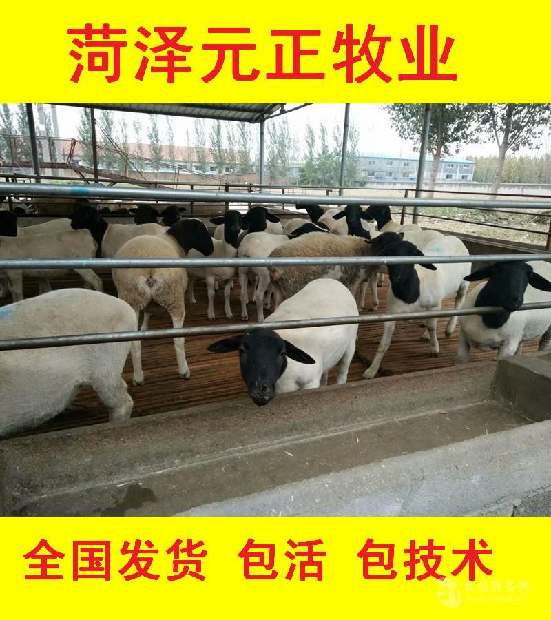 纯种杜泊绵羊价格