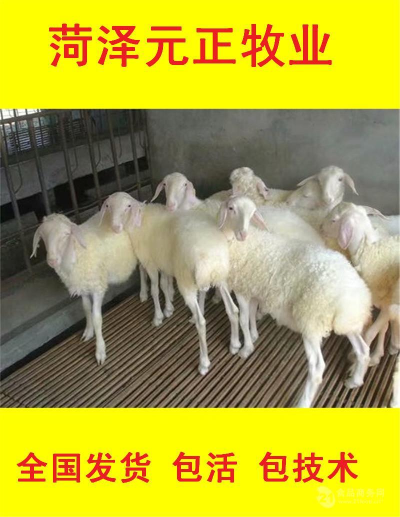 纯种小尾寒羊价格