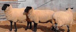 薩�?搜蚺c黑頭杜泊羊哪個好養那個賺錢多