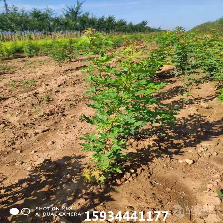 1年生五角枫树苗价格=五角枫苗