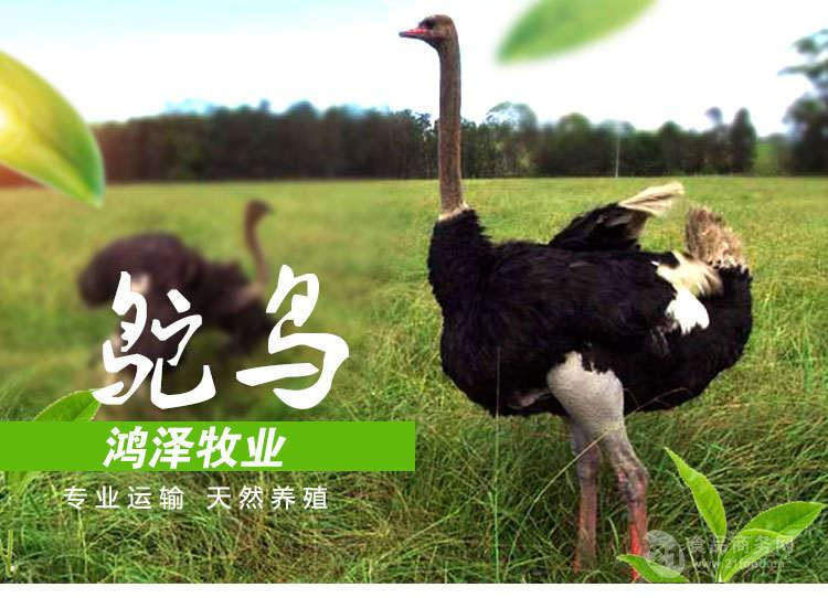 鴕鳥投資多少錢,一只小鴕鳥價格,鴕鳥養殖基地供應回收