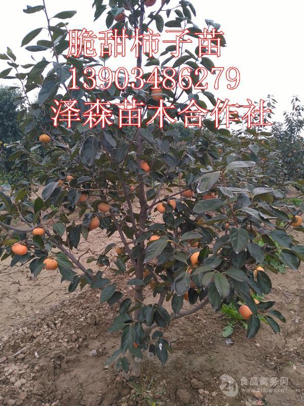 阳丰甜柿子苗原产地=阳丰甜柿子苗批发价格