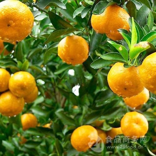 全自动连续式柑橘专用清洗机 柑橘去灰尘气泡清洗机设备