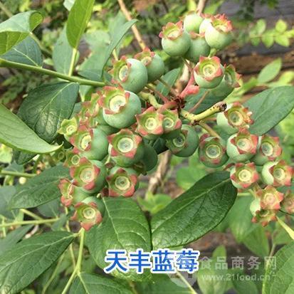 蓝莓苗管理