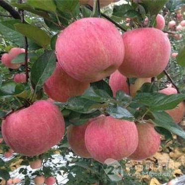 防城港市红富士苹果价格行情 红富士苹果格