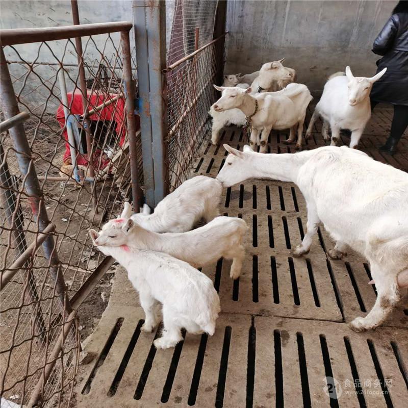 山东奶山羊养殖 奶山羊活羊