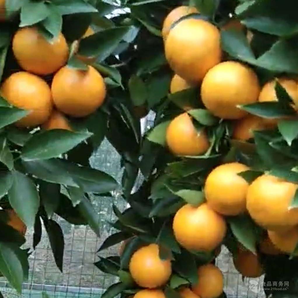 黃美人橘子苗