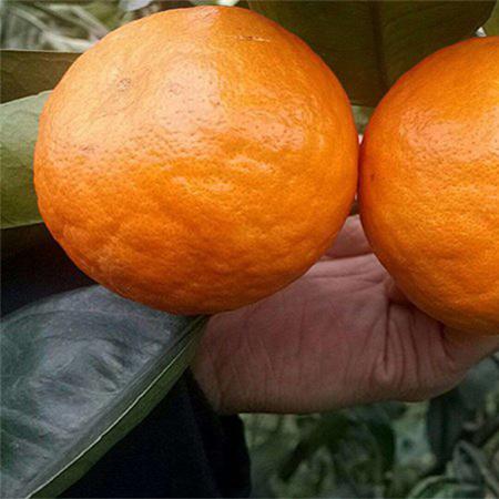 贵州晚熟明日见苗 晚熟明日见苗苗圃 贵州晚熟杂柑苗