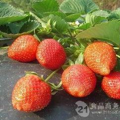 大量出售四季草莓苗黑龙江四季草莓苗