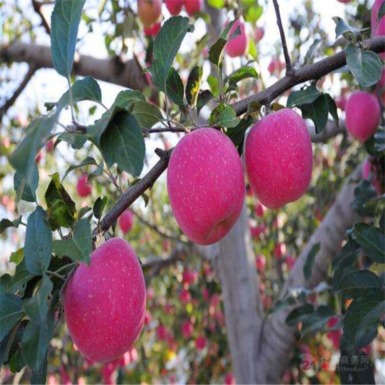 紅富士蘋果批發價格