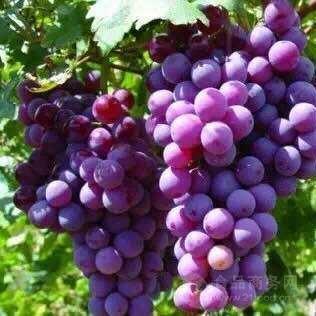 红葡萄多酚