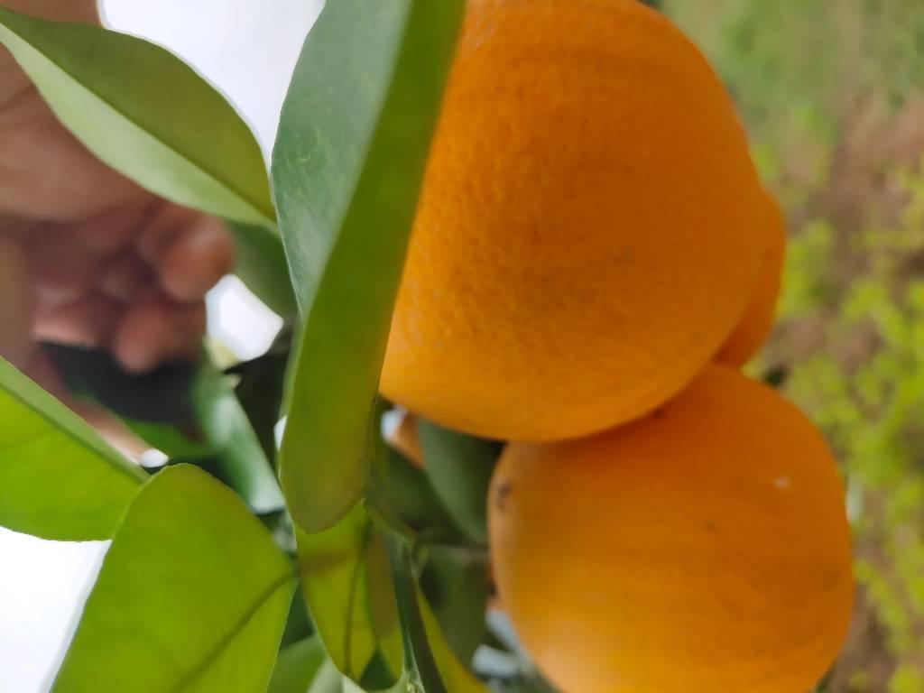九月红橙子