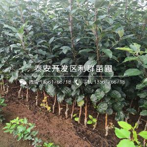 矮化蘋果樹苗
