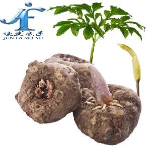 今年魔芋种子格-购买优质高产的魔芋种子-点击咨询
