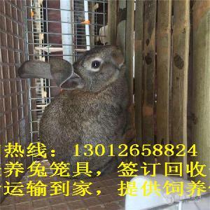 比利時種兔養殖兔子養殖投資