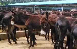 德州驢苗的價格