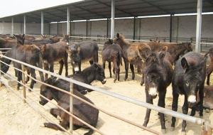 哪里卖肉驴苗