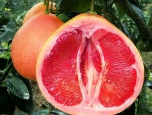 大棵大三红蜜柚苗/可以买到正宗大三红柚子苗