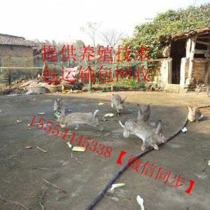雜交野兔兔苗