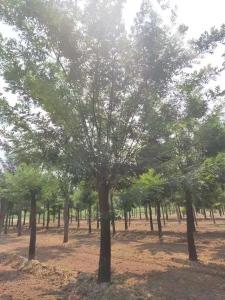 濰坊20公分櫻花價格櫻花報價-華信園林