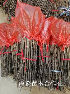 大红袍花椒苗~有刺大红袍花椒苗原产地价格=亩产