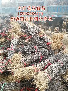 山西花椒苗价格~1年0.5公分0.6公分粗大红袍花椒苗价格便宜