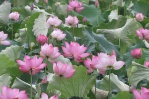 荷花新品種得來的太空蓮苗