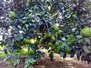 沙田柚是特產柚子_梅州產地