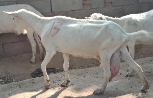 奶山羊产奶多产没有膻味羊奶的奶山羊
