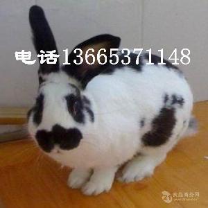 德国花巨兔价格 纯种花巨兔价格