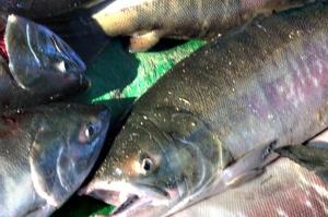 黑狗魚批發價,黑狗魚廠家直銷
