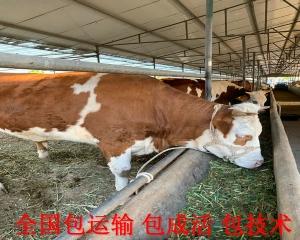 我要买小牛犊