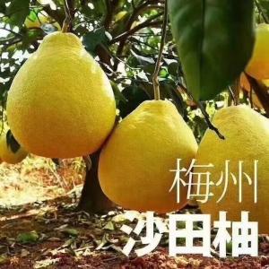 原产地直销柚子梅州金柚纯甜不酸的柚子批发代理均可
