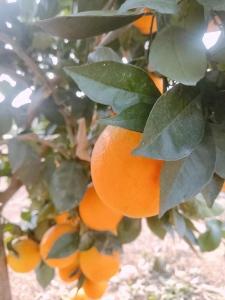 臍橙收購價格