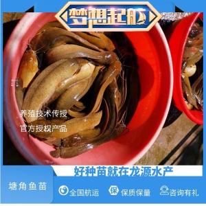 清远塘角鱼苗大量出货塘虱鱼苗售价详情页面