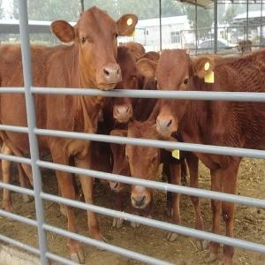 5个月的牛犊价位