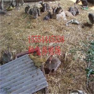 出售肉兔活體