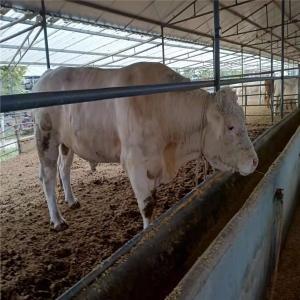 出售育肥牛