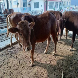 小规模肉牛养殖