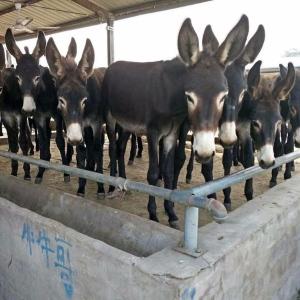 华北驴  肉驴养殖,
