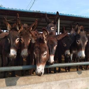 肉驴养殖场  三粉驴苗